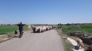 Pastier oviec v blízkosti mesta Zaragoza
