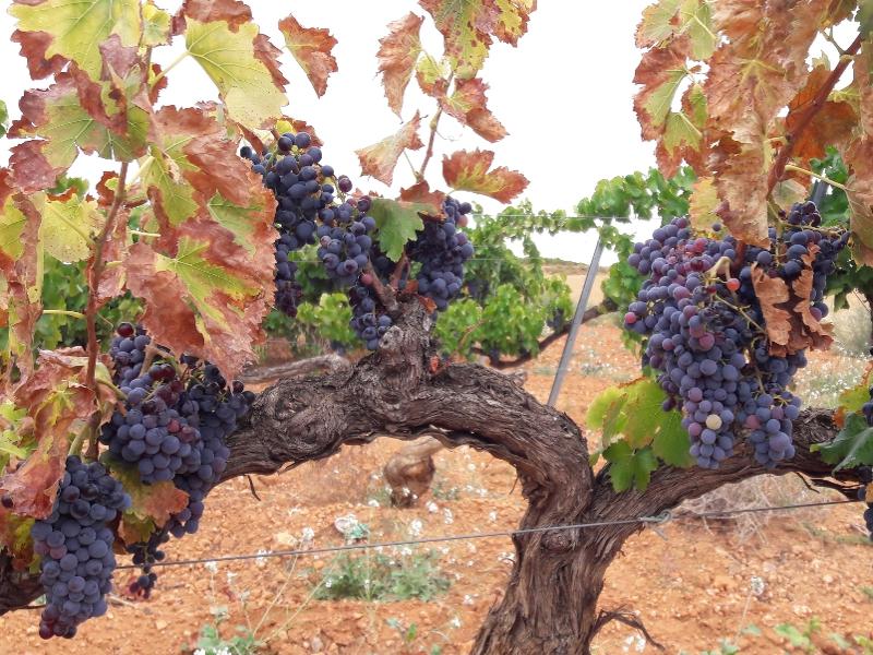 vinič Cariñena